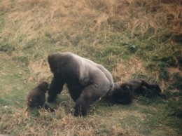 Jambo playing with his offspring