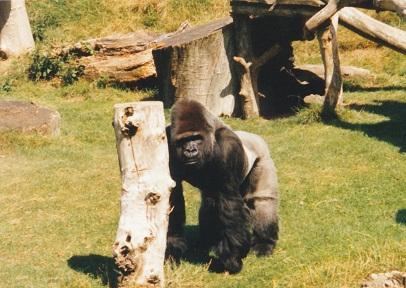 Jambo at Jersey Zoo