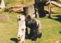 See Gorillas in England
