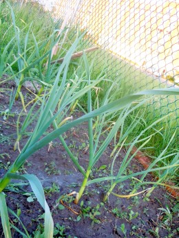 Garlic growing in spring.