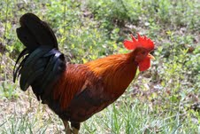 Known as a rooster in the USA, but as a cockerel in British english.