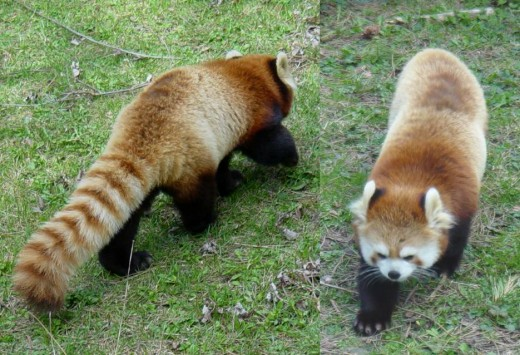 Raccoons are closely related to Red Pandas
