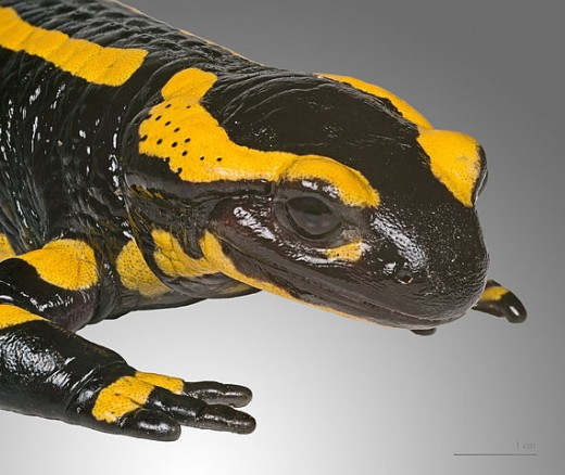 The fire salamander