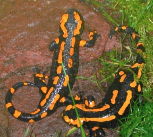 The black and yellow coloration of the fire salamander warns predators that it is toxic