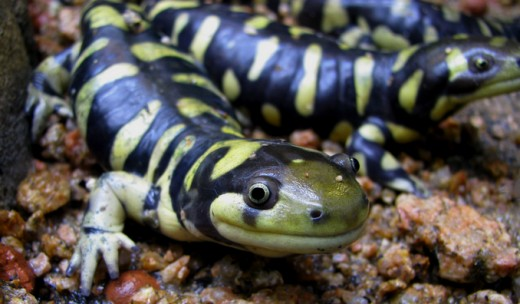 The adult form of the tiger salamander