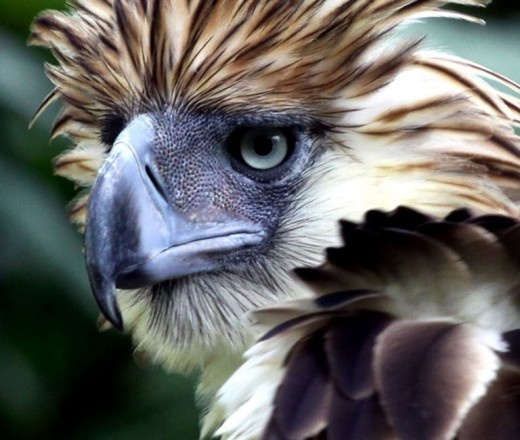 Philippine eagles lived a long life.  At the Philippine Eagle Center in Brgy. Malagos, Baguio District, Davao City is an eagle which is already 43-year of age