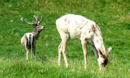 Reindeer live at the park