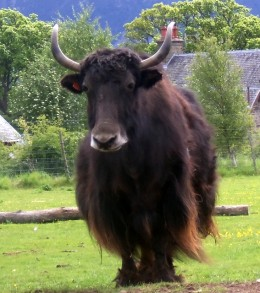 A yak.