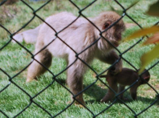 Japanese macaques and their young can be seen at the park