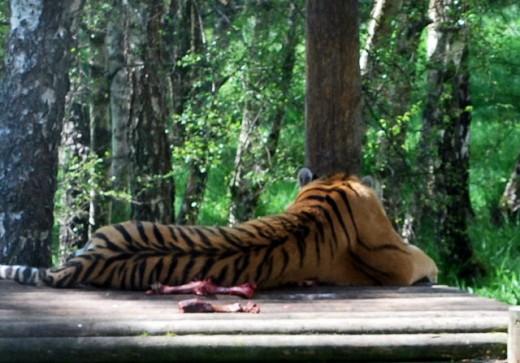 One of the Amur tigers enjoying the sun.