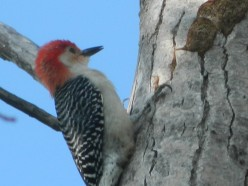 My Experiences with the Red-Bellied Woodpecker