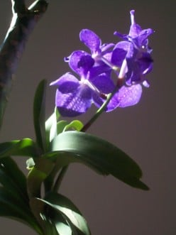 Basic Care for Vanda:  How to Grow Exotic Flowers and Tropical Plants