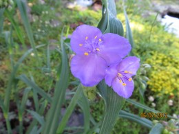 One shade of spiderwort