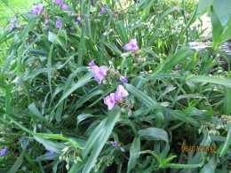 The spiderwort plant