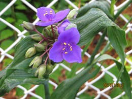 Another shade of spiderwort