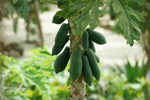 Young green papaya fruit growing on the tree.  When it ripens it will be a sweet yellow orange color.  Zanzibar Island, Tanzania