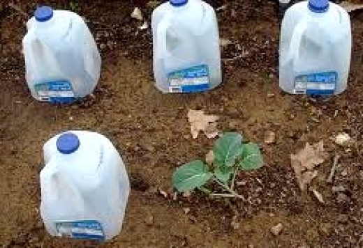 Milk containers make ideal covers for hardening off individual seedlings.
