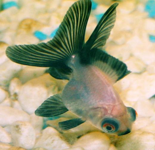 Panda moor fish