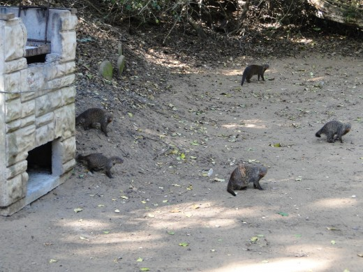 Banded Mongooses visiting camp site