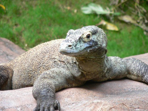 Fast Fact: Like many lizards, Komodo Dragons can reproduce by Parthenogenesis - a 'virgin birth' that does not require a male.