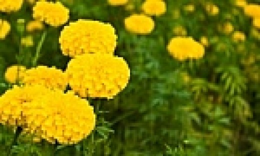 Marigolds are a natural garden pest deterrent.