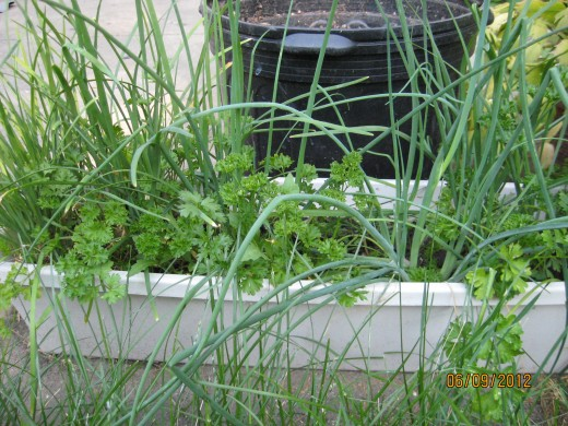 This planter box gets moved into the house every winter. It contains a mix of 'nira', shallots and parsley, all grown from seeds scattered atop the dirt last fall.