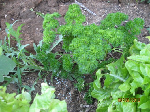 Parsley, reseeded for five years. Treat as lettuce above.
