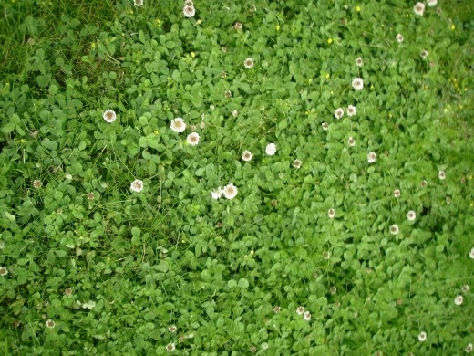 Clover in lawn