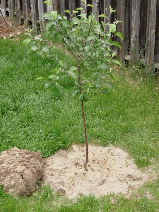 New Spartan Apple tree in sandy soil, not yet amended.  I dug in compost and organic fertilizer when I planted it, and will top-dress with compost and mulch with grass clippings as the summer progresses.
