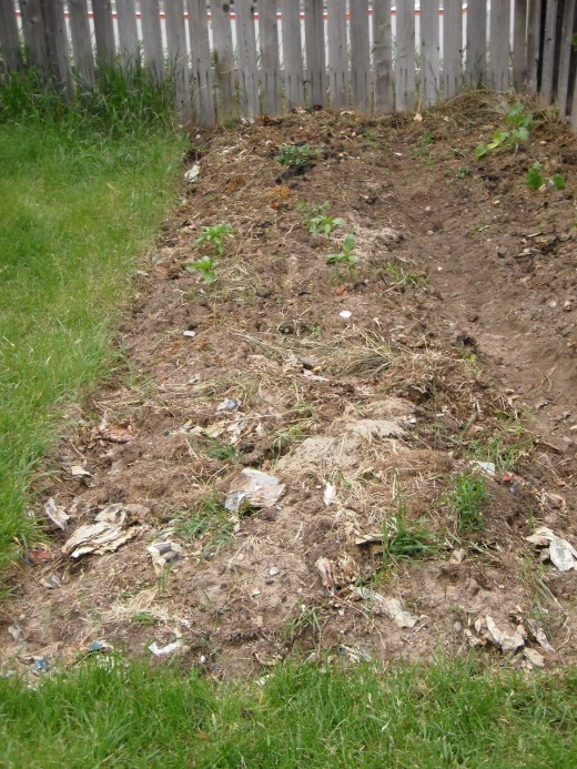Spring garden, with crimson clover and fall rye dug in roughly.  After two years of amending with green manures, compost and grass clippings, the sandy soil has become dark and full of worms.