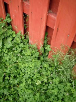 Crimson Clover, red fence
