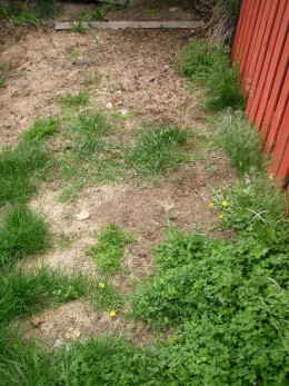 Crimson clover and grass clippings on dry, shady slope--new garden design in process.