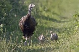 Turkey hen with two poults