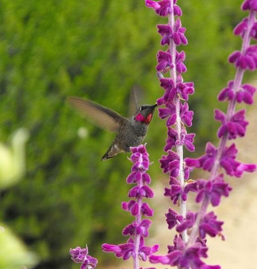 Anna's hummingbird feeding on a salvia plant