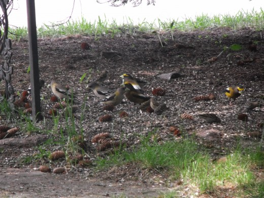These sparrows prefer to eat seeds off of the ground.