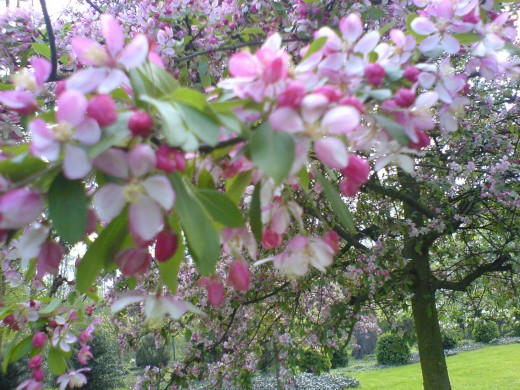 Apple blossom in the park of Wickrath Castle, June 2012