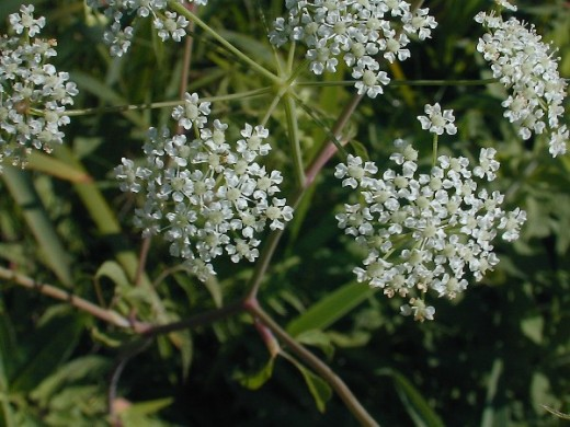 Fact: Hemlock (Conium maculatum) is a member of the same family as parsley. It is possible that it was employed in executions because it leaves the victim lucid almost until the point of death