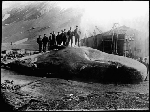 Nine men standing on beached sperm whale at Leith Harbour, South Georgia, 1913