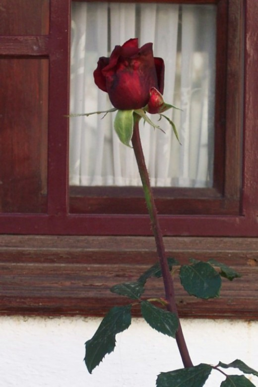 Single Red Rose. Photo by Steve Andrews