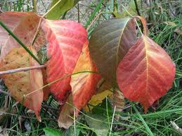 Poison Ivy dries and turns red in late summer and fall. This is the worst time to contact it. The dry chemical transfers like sticky dust.