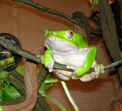 Some waxy monkey frogs might do better in a screen enclosure.
