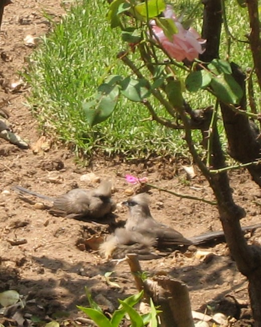 Mousebirds take a sandbath