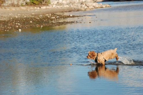 Simba learned to appreciate the water along the Toronto Island beach during a cooler day.