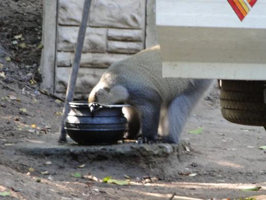 This is no Vervet Monkey exploring our campsite