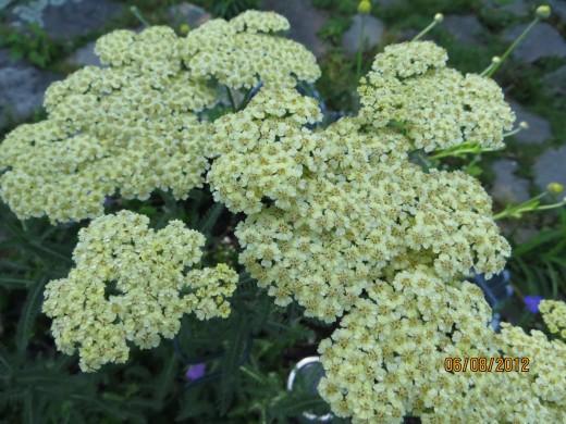 Close up of Yarrow flower