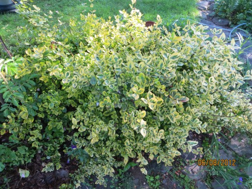 A variety of Euonymus