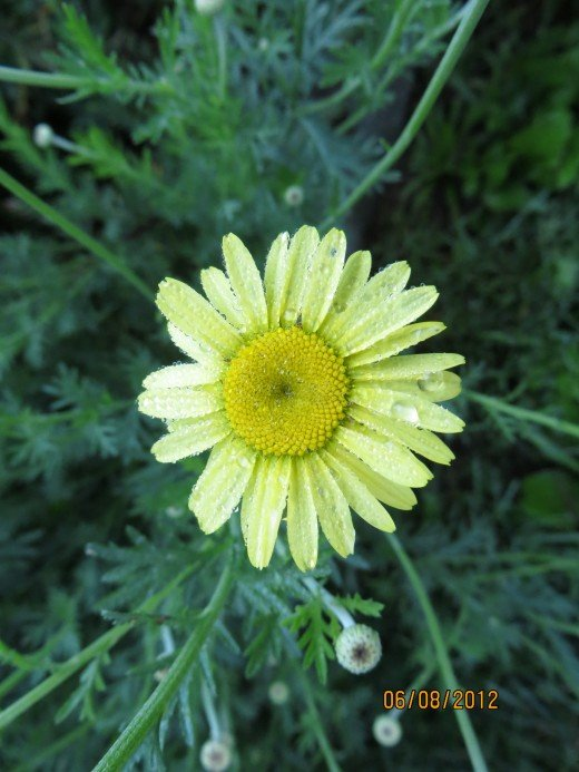 Close up of small daisy on above plant