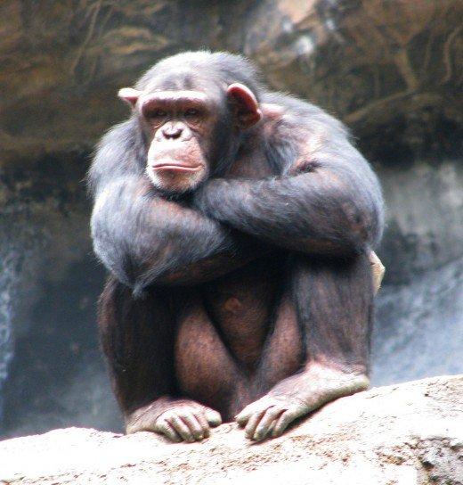 This chimp is exhibiting disinterest.  Don't let this be you!