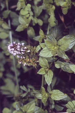 My Favorite Mosquito Repellent: Peppermint
