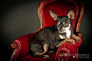 Minnie Tonka is with Because of You Chihuahua Rescue in Oklahoma. She was a breeder surrender.